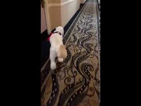 Service Dog Assisting Handler with Finding Hotel Room