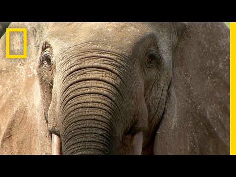 Elephant Poaching Forces This Community to Take Sides   National Geographic