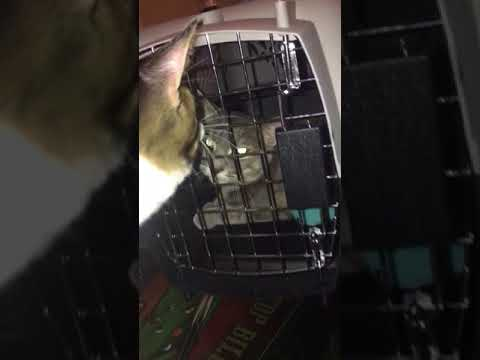 Female attacking just neutered cat