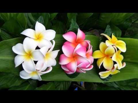 Fresh and elegant plumeria flowers (HD1080p)