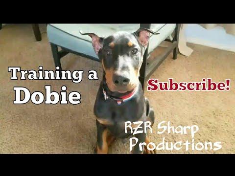 Training Smart Doberman Puppy!!