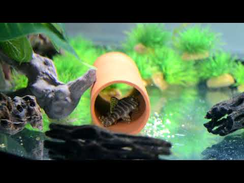 Community tank - Leopard Frog & Odessa Barbs (7)