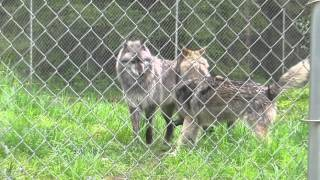 Sibling wolfdogs meet new Wolf Haven resident - male wolfdog