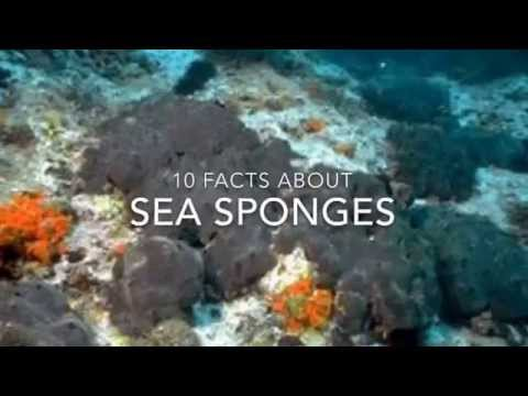 Sea Sponge Facts: 10 facts about Sea Sponges