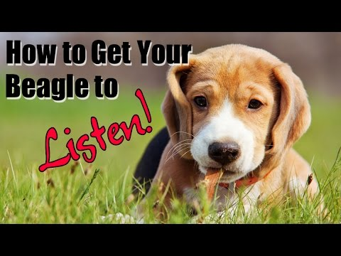 ***How to get your beagle to listen - NOW!!!