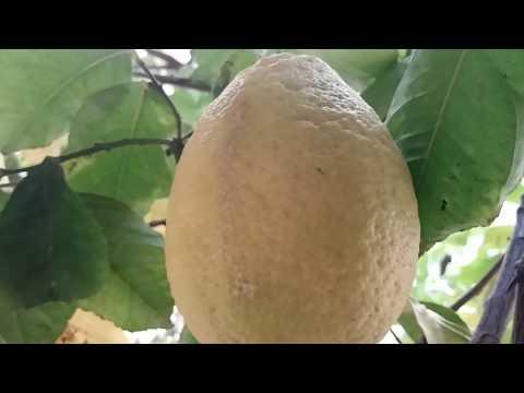 Lemon plant import from europe