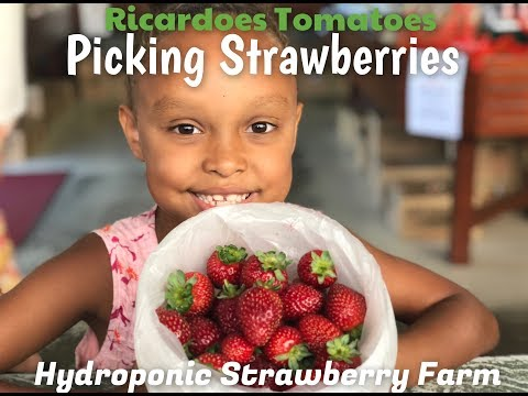 Hydroponic Farming - Picking Strawberries At Ricardoe Tomatoes, NSW Australia