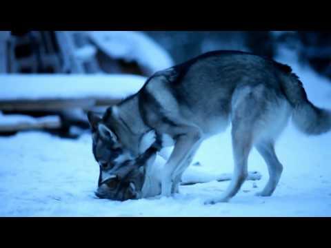 Tamaskan dogs Jiekna & Nuuk