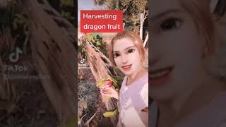 Harvesting Dragon fruit )