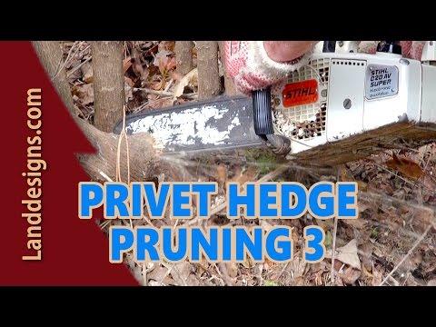 PRUNE OVERGROWN PRIVET HEDGE 3