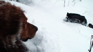 Boars, dog and lot of snow