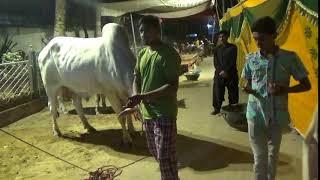 MAK Sibbi BULL 2018 || Karachi Cow Mandi 2018 Latest  || #mandi2018 #karachimandi