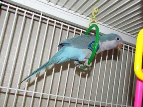 Quaker Parrot Loves Saying Hello