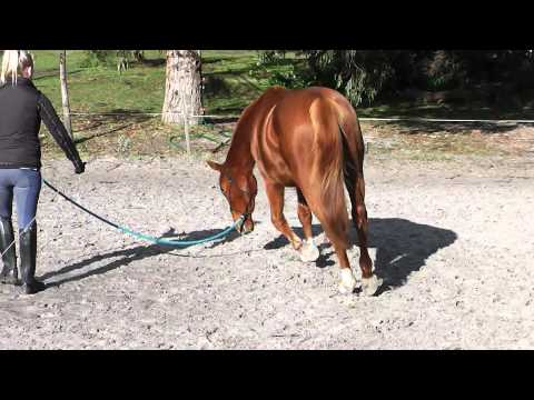Holistic Horse Solutions: Lunging head down training