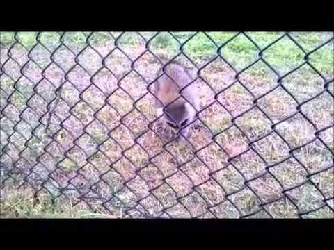 raccoon with rabies