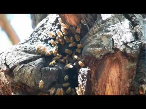 European Honey Bee Hive in Tree Trunk, Poway, California