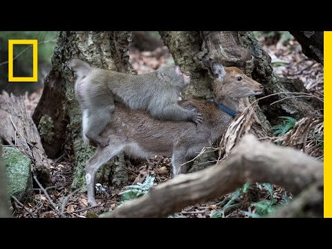 Xxx Mp4 Monkey Tries To Mate With Deer Rare Interspecies Behavior National Geographic 3gp Sex