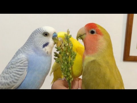 Can you put budgies and lovebirds together?