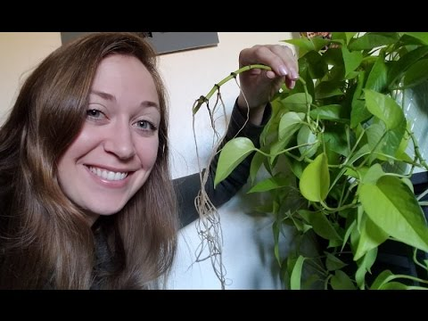 Make a plant clipping grow roots (WITHOUT rooting hormone)