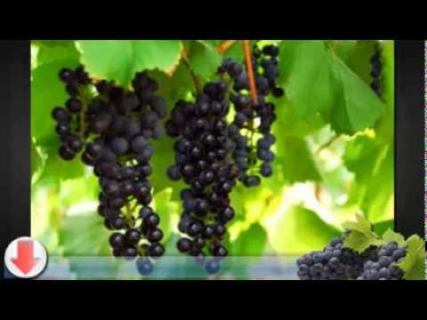 Growing Grapevines - The Experts Secrets to Growing Grape Vines