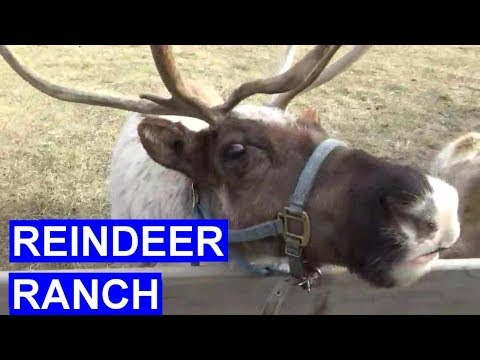 Holiday Family Fun At Hardy's Reindeer Ranch Rantoul IL - Feed Reindeer, Christmas Trees, Corn Maze