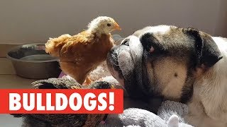 Breed All About It: Bulldogs