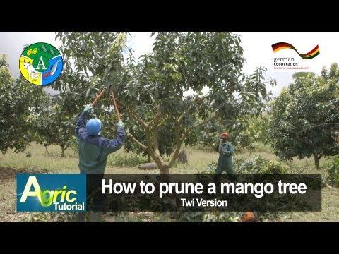 How to prune a mango tree (Twi)