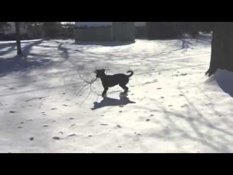 Lab Coonhound Mix - First time in the snow!