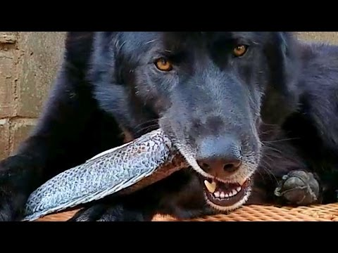 This Is What Happens When You Feed RAW Fish To Dogs!!!