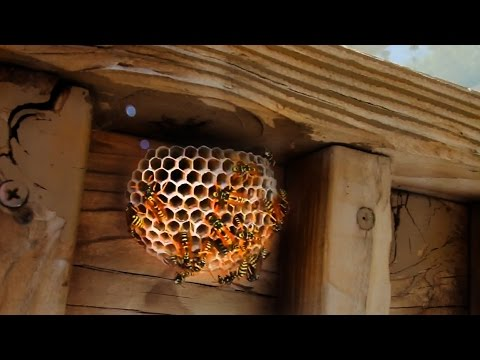 Xxx Mp4 Relocating A Wasp Nest 3gp Sex