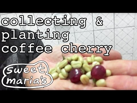 Collecting and Planting Coffee Cherry