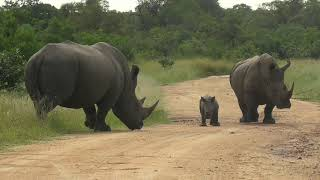 "SOUTH AFRICA rhino baby is ""challenging"" its father, Kruger national park"