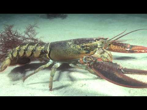 Food Facts & Information : Why Are Lobsters Cooked Alive?