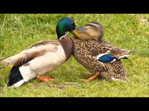 Aggressive male duck attacks hen to force mating, a struggle to escape ensues