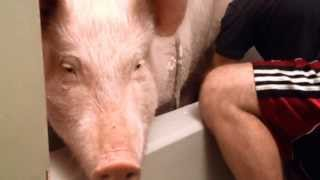 Bathtime with Esther the Wonder Pig