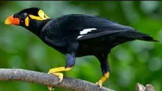 Burung beo ngomong