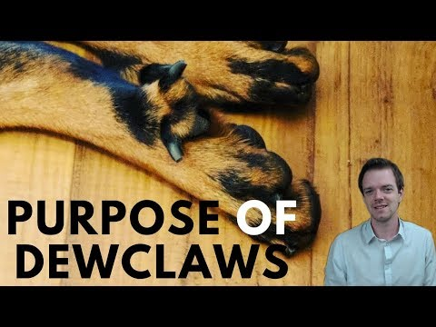 Why Do Dogs Have Dewclaws?