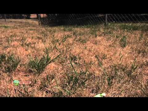 Weed of the Week #746-Crabgrass (Air Date 7/22/12)