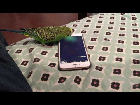 Talking bird activates Siri on the iPhone by saying