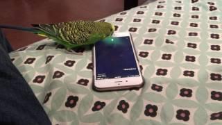 "Talking bird activates Siri on the iPhone by saying ""Hey Siri"""