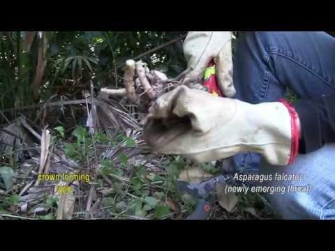 ASPARAGUS WEED CONTROL 7. Asparagus falcatus (newly emerging threat)