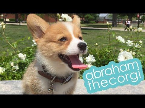 @abrahamthecorgi   corgi puppy 2 weeks - 3 months timeline
