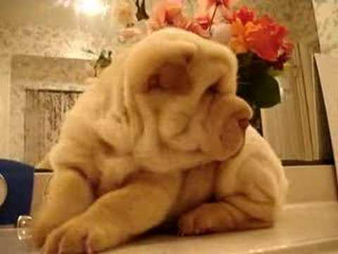 Shar-Pei Puppy Baby