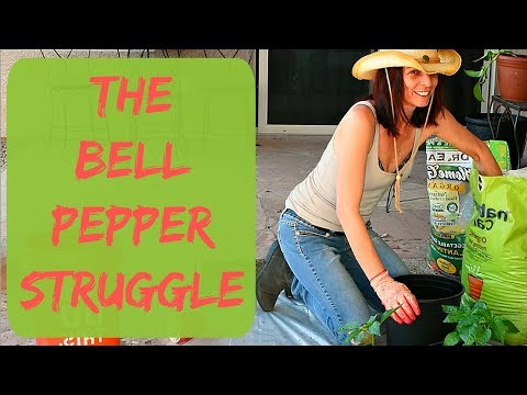 Growing Bell Peppers from Seed in Containers - How to Grow Bell Peppers in Containers in Arizona