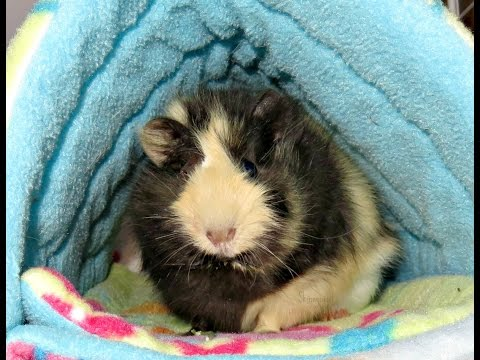 Rum Raisin: One Eyed Baby Guinea Pig