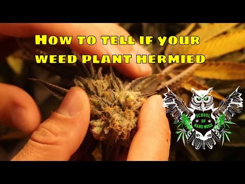 Xxx Mp4 Hermied Weed Plant How To Tell If Your Cannabis Plant Is A Hermaphrodite And What To Do To Fix It 3gp Sex
