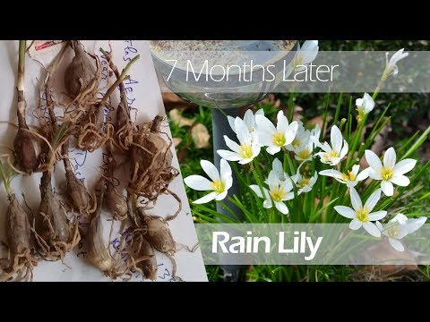Rain Lilies Planting Guide (with update) How to Grow Rainlily from Bulbs | Zephyr Lily