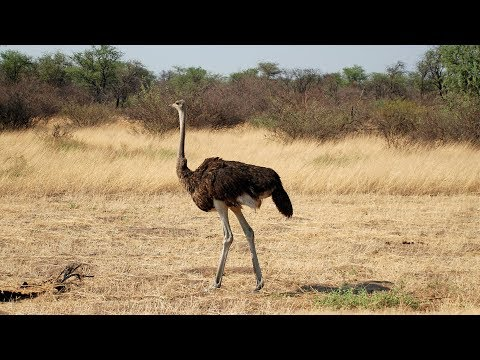 Botswana - Struś, ostrich, autruche, strauß