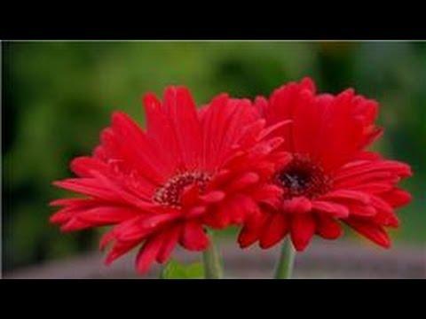 Garden Tips : How Do I Grow Gerbera Daisy Flowers?