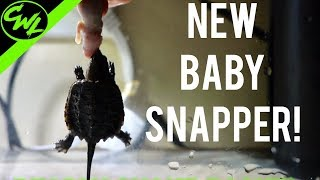 Download NEW Baby Snapping Turtle! Video